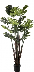 Pianta Philodendro da 170cm